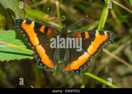 Milbert's tortoiseshell butterfly, Nymphalis milberti, one of the first butterflies to be seen in the spring, Alberta - Stock Photo