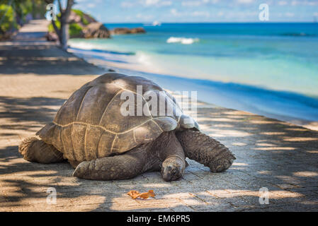 Seychelles giant tortoise - Stock Photo