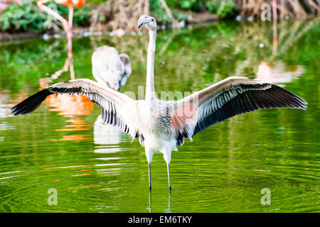 The greater flamingo is found in Africa, Asia, and Europe. Most of the plumage is pinkish-white. - Stock Photo