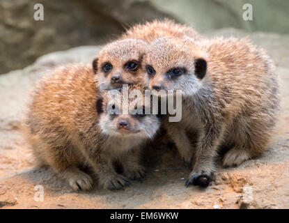 Three meerkat pups posing together - Stock Photo