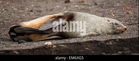 stretching Antarctic fur seal (Arctocephalus gazella), Whalers Bay, Deception Island, Antarctica - Stock Photo