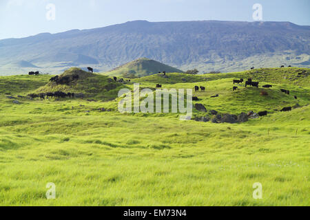 USA, Hawaii Islands, Big island, Parker Ranch; Waimea, Cattle grazing on lower slopes of Mauna Kea - Stock Photo