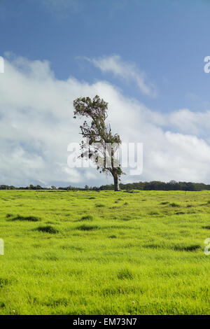USA, Hawaii Islands, Big island, Parker Ranch; Waimea, Old eucalyptus tree growing on grassy pasture of Mauna Kea - Stock Photo