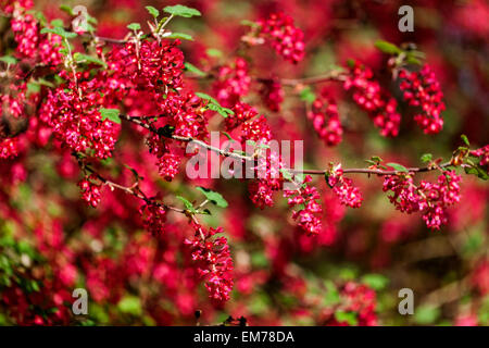 Ribes sanguineum 'Koja' currant, red flowers - Stock Photo