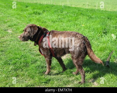 Wet Chocolate Labrador after a swim - Stock Photo