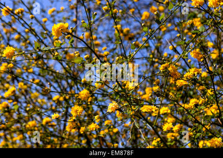 Kerria japonica, branch, spring, flower - Stock Photo