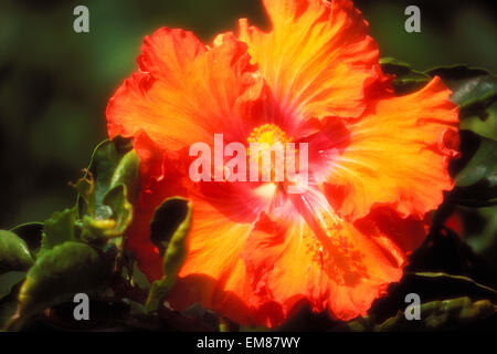 Hawaii, Large Orange Hibiscus Blossom With Pink Center Outdoor Sunshine, Shadow Pistil And Stamen Yellow On Plant - Stock Photo
