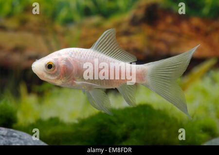 Carassius auratus Komet Weiss,Goldfisch,Goldfish - Stock Photo