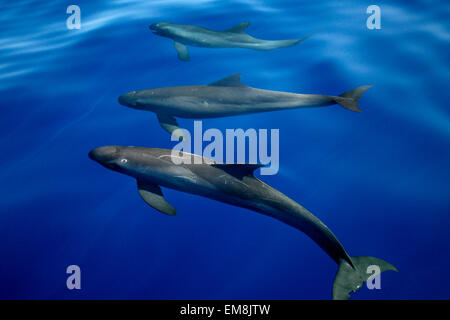 Hawaii, Pygmy Killer Whale, Feresa Attenuata [For Use Up To 13X20 Only] - Stock Photo