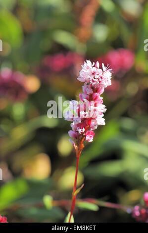 Himalayan Fleeceflower - Dwarf Fleeceflower (Bistorta affinis - Persicaria affinis - Polygonum affine - ) Flowering - Stock Photo