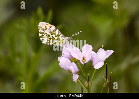 Orange Tip butterfly resting on Cuckooflower.  West End Common, Esher, Surrey, England. - Stock Photo