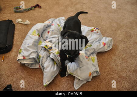 A young black lab puppy taking a break from playing because curiosity struck. - Stock Photo