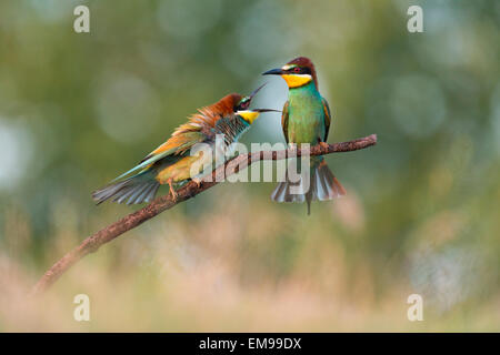 Pair of European Bee-eater Merops apiaster in aggressive action towards another, Hortobagy National Park, Hungary, - Stock Photo