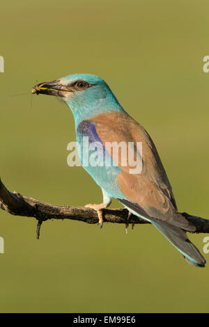 Single European Roller Coracias garrulus side profile cricket prey in beak Pusztaszer Hungary - Stock Photo