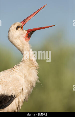 Close up of single White Stork Ciconia ciconia head proflle displaying with beak open Pusztaszer, Hungary - Stock Photo