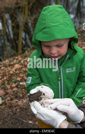 Little child holding common toad / European toad (Bufo bufo) in gloved hand - Stock Photo
