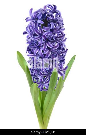 Blue Hyacinth flower isolated on white background - Stock Photo