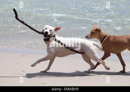 Dogs playing on a beach - Stock Photo