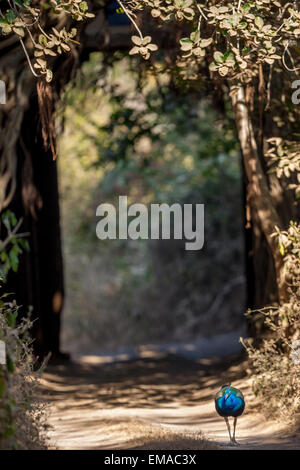 Indian Peafowl walking in the mid way against ancient gate which is surrounded with huge Banyan trees, at Ranthambhore - Stock Photo