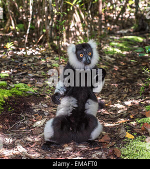 Black-and-white ruffed lemur of Madagascar - Stock Photo