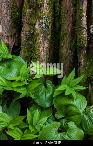 New plant growth at the base of a Western Red Cedar tree in a temperate rain forest near Vancouver - Stock Photo