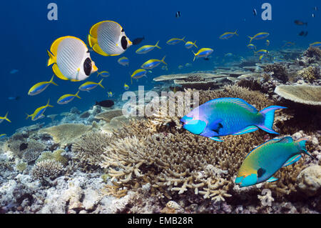 Greenthroat or Singapore parrotfish (Scarus prasiognathos} Shallow reef top with mainly table corals Acropora sp.) - Stock Photo