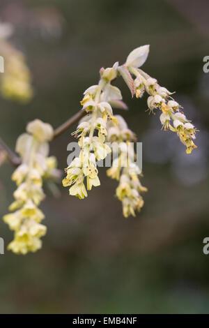 Corylopsis sinensis var. sinensis flowers in Spring. - Stock Photo
