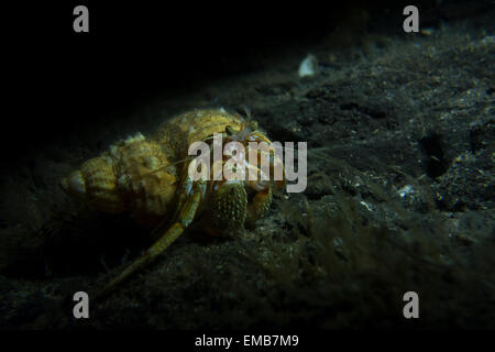 Common Northern Hermit Crab, Pagurus bernhardus, from the North Sea at Lillebaelt, Kongeborgaarden, Denmark. - Stock Photo