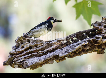 Acorn Woodpecker (Melanerpes formicivorus) perched on a tree branch. - Stock Photo
