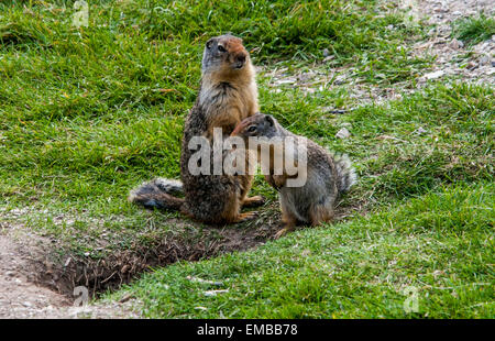 Columbian Ground Squirrel (Spermophilus columbianus) mother and baby near entrance to their burrow. - Stock Photo