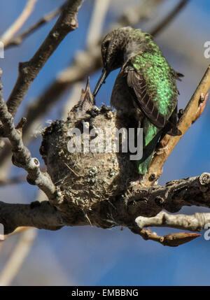 ANNA'S HUMMINGBIRD (Calypte anna) feeding babies in the nest. - Stock Photo