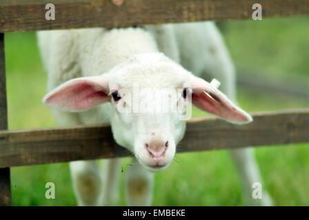 White lamb looking through the wooden fence - Stock Photo
