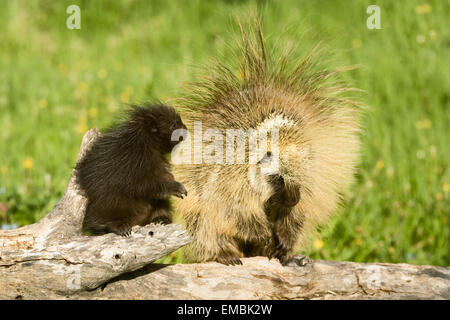 Adult and young Common Porcupine (Erethizon dorsatum) looking at each other on a log in the meadow. - Stock Photo