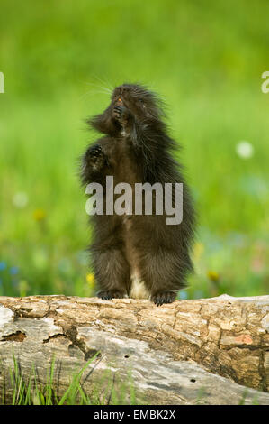 Juvenile Common Porcupine standing on log in meadow looking up - Stock Photo