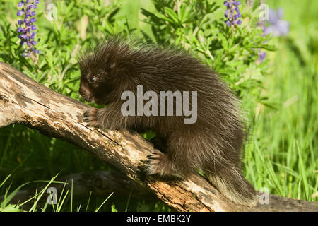 Baby Common Porcupine (Erethizon dorsatum) climbing on a log in the meadow filled with wildflowers. - Stock Photo
