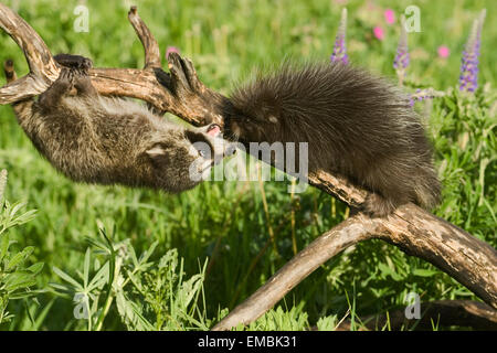 Young Common Porcupine (Erethizon dorsatum) meeting a young Raccoon (Procyon lotor) on a log in the meadow. - Stock Photo