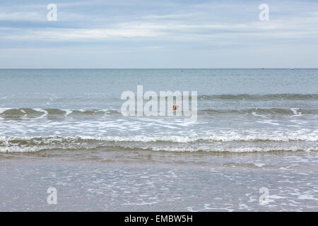 Labradoodle dog plays on the beach and in the sea, Whitby, Yorkshire, England, UK - Stock Photo