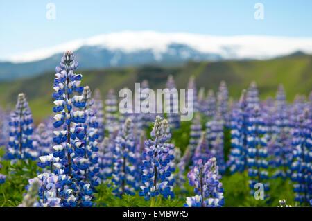 Alaska Lupines (Lupinus nootkatensis) in front of Eyjafjallajökull, Iceland - Stock Photo