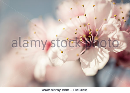 Prunus cerasifera var. pissardii in spring, flowering - Stock Photo