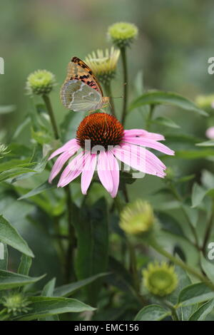 butterfly sitting on a flower purple Echinacea - Stock Photo