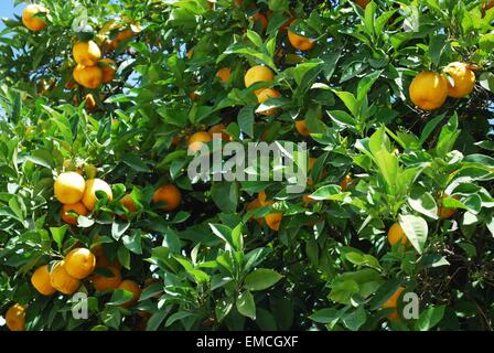 Ripe Seville oranges growing on the tree. - Stock Photo