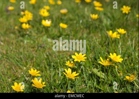 like a buttercup invading a meadow habitat the Lesser celandine Ranunculus ficaria the small leaves are hidden beneath - Stock Photo