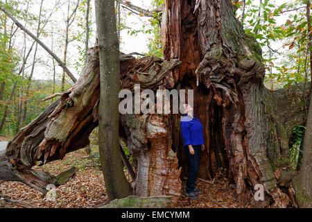 Austria, Burgenland, Liebing chestnut trees - Stock Photo