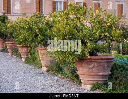 Tuscany, Italy. Old lemon trees in huge terracotta pots stand in the kitchen garden of a Renaissance villa - Stock Photo
