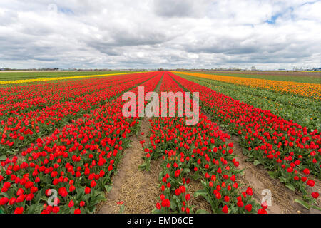Spring time in The Netherlands: Typically flat countryside and a view on endless rows of  flowering tulips, Lisse, - Stock Photo