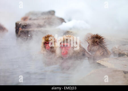 Snow Monkeys - Stock Photo