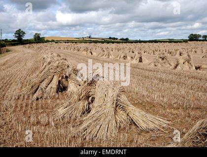 Stooked Corn in a North Devon Field - Stock Photo