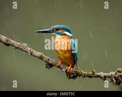 Common Kingfisher (Alcedo atthis) adult,sitting on branch in rain, Droitwich, Worcestershire, England. - Stock Photo