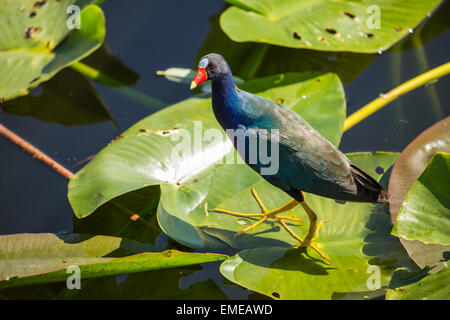 Purple gallinule (Porphyrio martinicus) at the Royal Palm visitor center in the Florida Everglades National Park. - Stock Photo