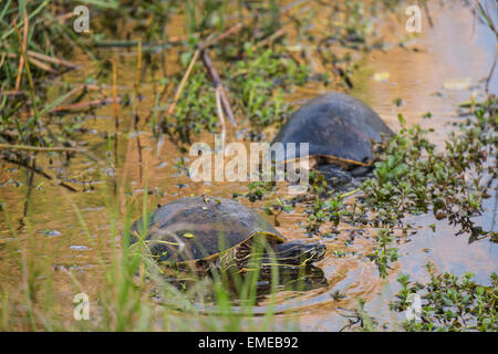 Florida red-bellied cooter or redbelly turtle (Pseudemys nelsoni) along the Anhinga Trail, Florida Everglades National - Stock Photo